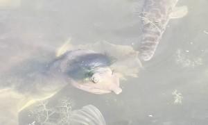 Florida Softshell Turtle Sports a Stylish Toupee
