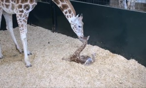 Newborn Baby Giraffe Adorably Stands Up For First Time