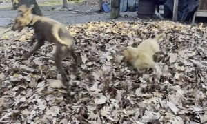Golden Puppy Leaps Into Leaf Pile