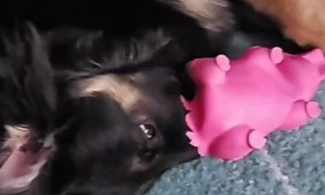Puppy Finds New Way of Playing With Toy Pig