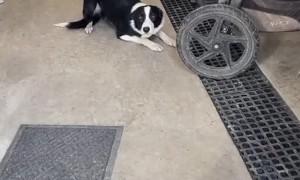 Naughty Dog Tries Rushing Past Door Manners Training