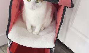 Kitty Begs to Go Walking in His Stroller