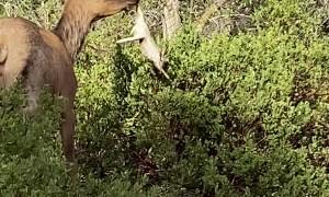 Elk Flings a Rabbit Around by the Foot