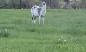 Piebald Deer Peacefully Grazes by Roadside