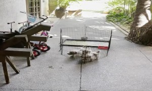 Determined Terrier Pups Push Cage