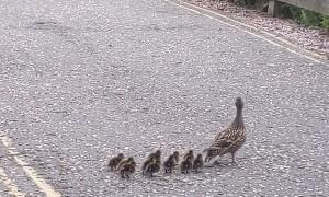 Momma Duck Meanders Across Road