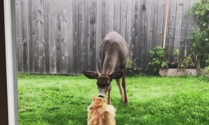 Friendly Deer Comes Close to Meet Kitty