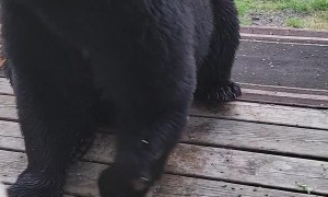 Bear With Injured Paw Waits Patiently for a Snack
