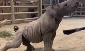 Baby Rhino Loves a Good Brushing