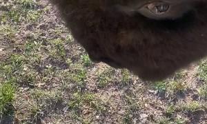 Bison Headbutt Knock Down