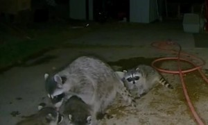 Mama Raccoon Shows Her Baby Where the Water Is