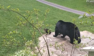 Bear Showing off Her Cubs