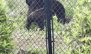 Bears Wrestle Around