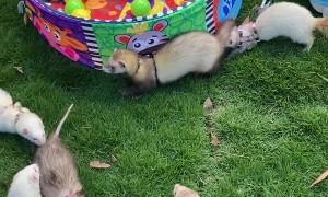 Ferrets Get Together at Local Park