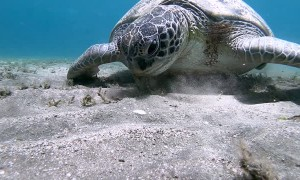 Remora Fish Hitches a Ride on Lovely Turtle