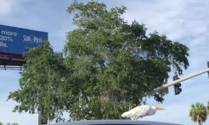 Bird Catches a Ride on Car Rooftop
