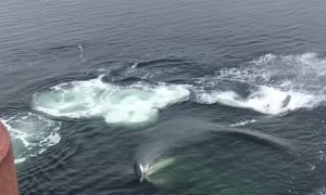Humpback Whale Bubble Feeds Next to Dock
