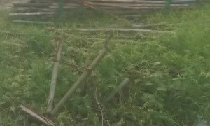 Two Large Snakes Mating in Construction Site