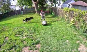 German Shepherd Helps Mow the Lawn