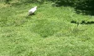 Corgi Disapproves of Duck Pursuer