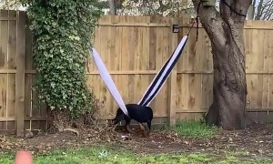 Dog Struggles to Escape Hammock