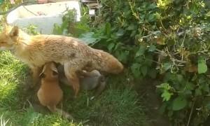 Family of Foxes Feeding