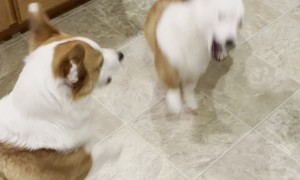 Corgisaurus Rex Comes out in Playtime