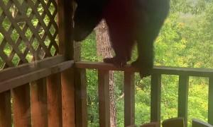 Bear Climbs up to Investigate Cabin Deck
