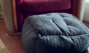 French Bulldog Flips Bed