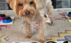 Yorkie Lets Mom Know he is Mad About no Extra Treats