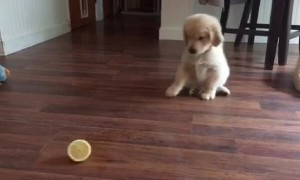 Golden Retriever Puppy Adorably Confused By Lemon Slice