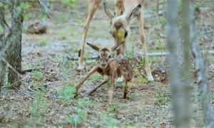 Newborn Impala Lamb Adorably Attempts First Steps