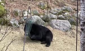 Black Bear Visits Minnesota Bird Feeders