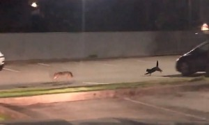 Brave Cat Chases Off Coyote During Late Night Encounter