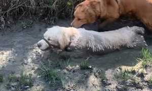 2-Year-Old Golden Retriever Loves Mud