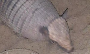 Pet Armadillo Stands on Command
