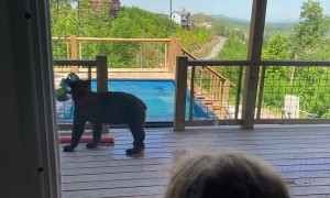 Black Bears Drop by for a Pool Party