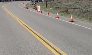 Bear Cub Plays With Traffic Cone