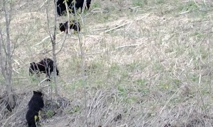 Three Cubs Wrestling and Playing Together in Trees