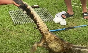 Young Trapped Alligator Freed from Culverts