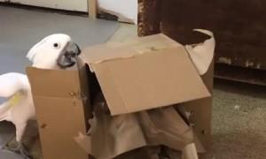 Destructive cockatoo totally obliterates cardboard box