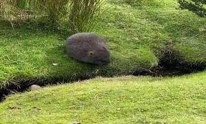One Small Step for Wombat, One Giant Leap for Wombatkind