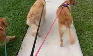 Golden Retriever's Cute Wiggly Walk