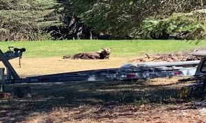Moose Births Cute Calf in Back Yard