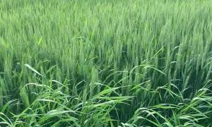 Vocal Cat Hops Through Grassy Field