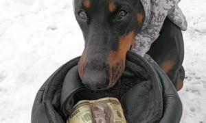Doberman Earns a Living Begging on Streets