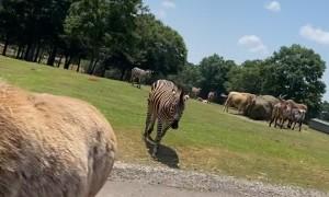 Smiling Zebra Seeking a Snack