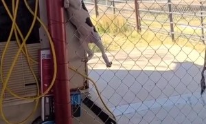 Puppy Finds Her Way Up Fence