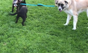 Puppies Try to Take Their Friend for a Walk