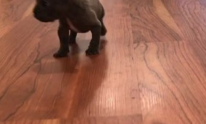 French Bulldog Puppy Takes a Load Off